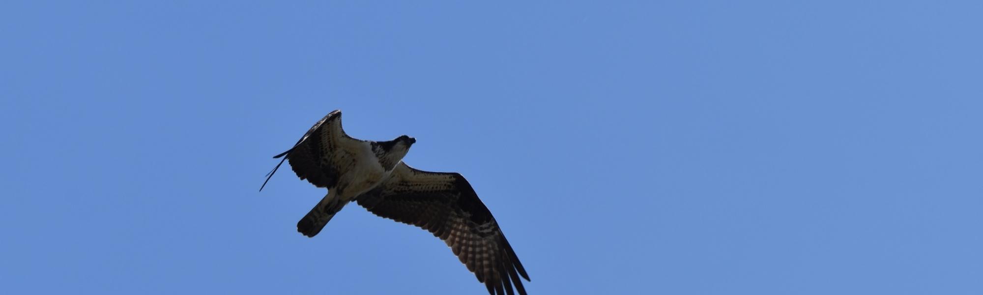 osprey on hudson river (1)